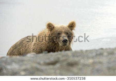 Grizzly Bear in Lake Clark National Park, Alaska