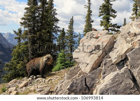 Grizzly bear in national park Banff (Alberta, Canada) - stock photo