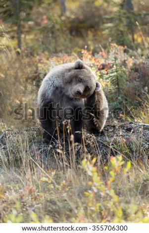 Grizzly bear in nature with autumn colors