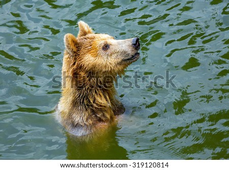 Grizzly bear in zoo. - stock photo