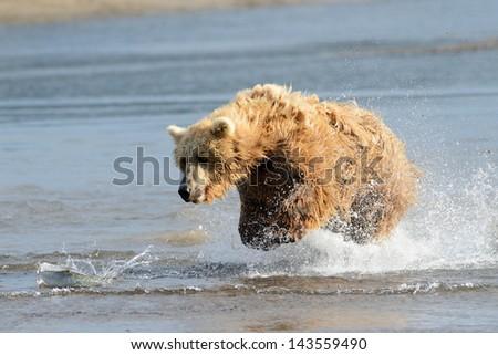 Grizzly Bear jumping at fish - stock photo