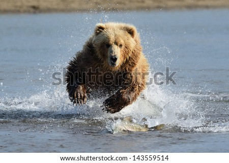 Grizzly Bear jumping at fish - stock photo