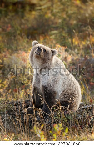 Grizzly bear juvenile of 2 years old in autumn colored landscape - stock photo