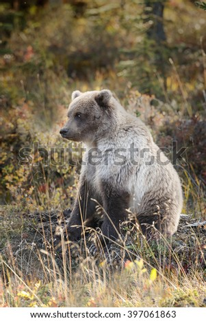 Grizzly bear juvenile of 2 years old in autumn colored landscape