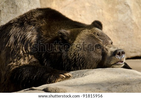 Grizzly bear looking for food - stock photo