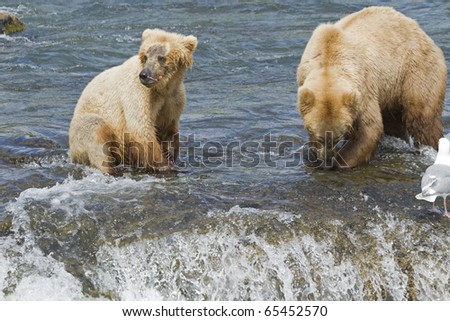 Grizzly Bear mom and her cub with a fresh catch of salmon in Katmai National Park in Alaska - stock photo