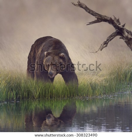 Grizzly Bear Near the Pond  - stock photo