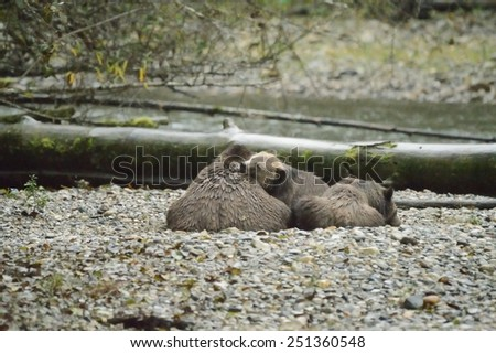 Grizzly Bear north american brown bear ursus arctos - stock photo