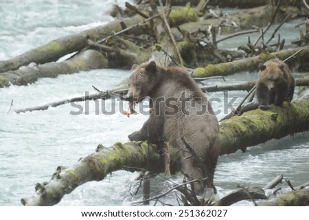Grizzly bear, north american brown bear ursus arctos