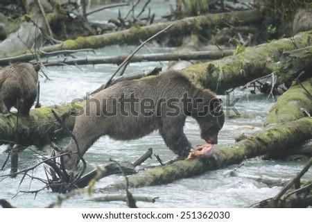 Grizzly bear, north american brown bear ursus arctos - stock photo