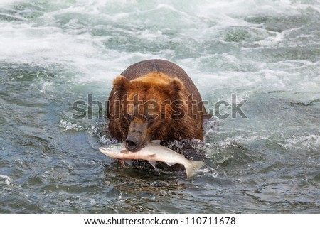Grizzly bear on Alaska