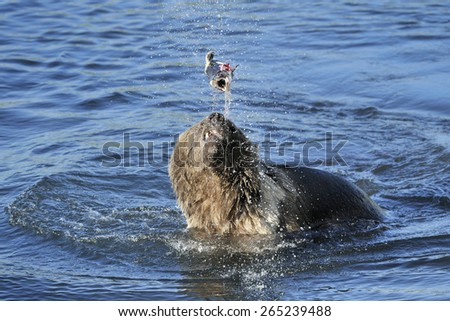 Grizzly bear playing with caught fish in water. - stock photo