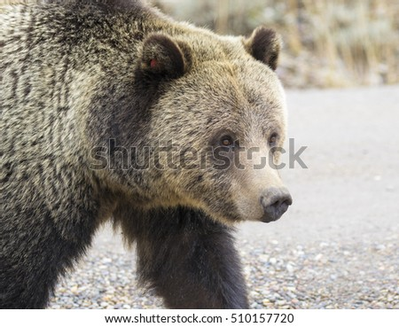 Grizzly bear portrait while crossing road in fall