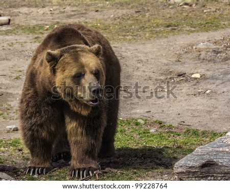 Grizzly bear posing for the camera - stock photo