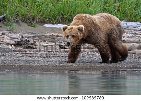 Grizzly Bear prowling the shore.