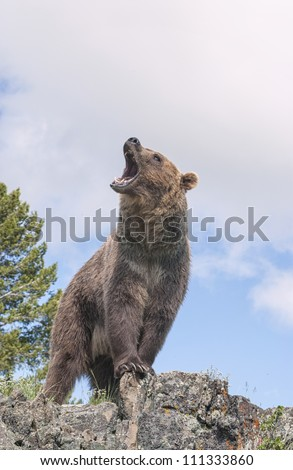 grizzly bear stock photos images amp pictures shutterstock