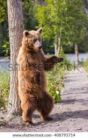 Dancing Bear Stock Images, Royalty-Free Images & Vectors ...