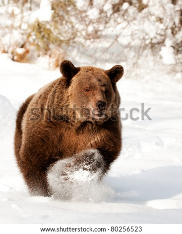 Grizzly bear running in fresh snow - stock photo