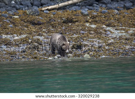 Grizzly Bear searching for food at the coastline of Knight Inlet, British Columbia, Canada