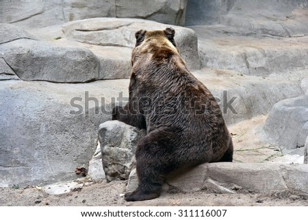 grizzly bear sitting backwards on a rock
