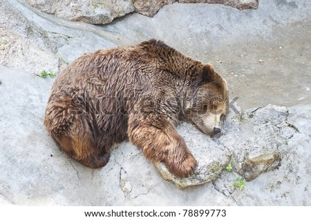 Grizzly bear sleeping in Zoo - stock photo
