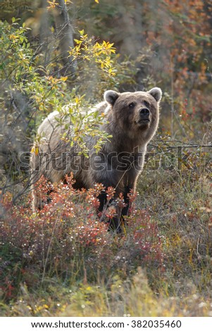 Grizzly bear standing in a autumn nature setting - stock photo
