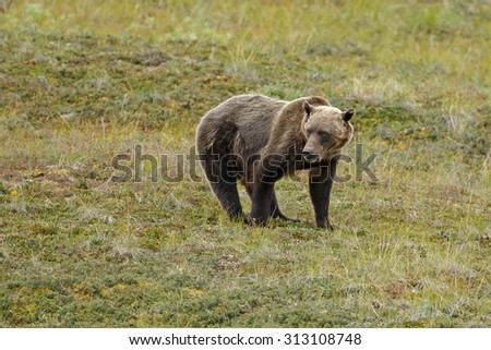 Grizzly bear standing on gras - stock photo