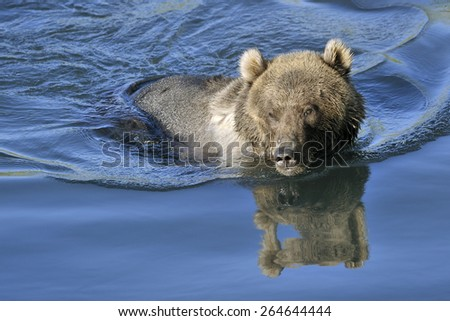 Grizzly bear swimming in water with reflection. - stock photo