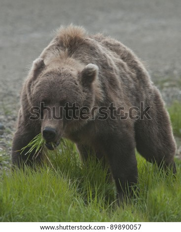 Grizzly bear (Ursus arctos) feeds on the lush new growth of grass in Denali National Park, ALaska. - stock photo
