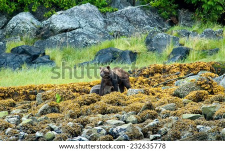 Grizzly Bear (Ursus arctos horribilis) mother and cub walking amongst rocks and vegetation. British Columbia, Canada, North America.