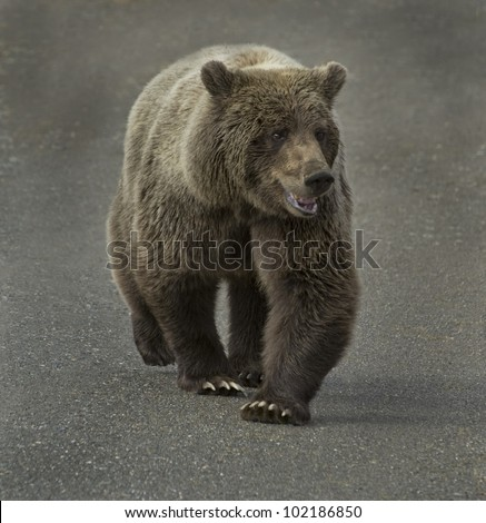 Grizzly Bears Food Grizzly bear ursus arctos is.