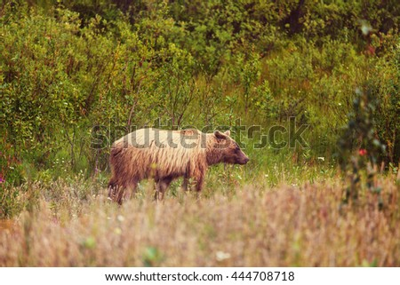 Grizzly bear walking across a  highway,  Canada - stock photo