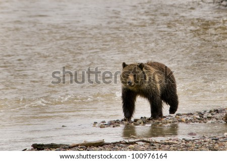 Grizzly Bear walking by a river in Yellowstone National Park - stock photo
