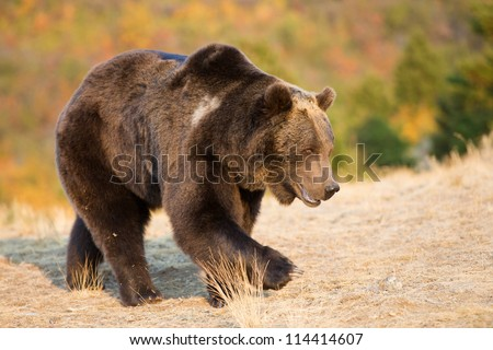 Grizzly Bear walking in grass
