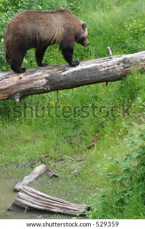 Grizzly bear walking on a log suspended over a creek bed