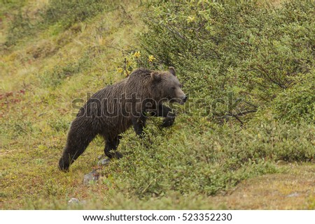 Grizzly bear walking through soapberries in the rain, Denali National Park, Alaska.