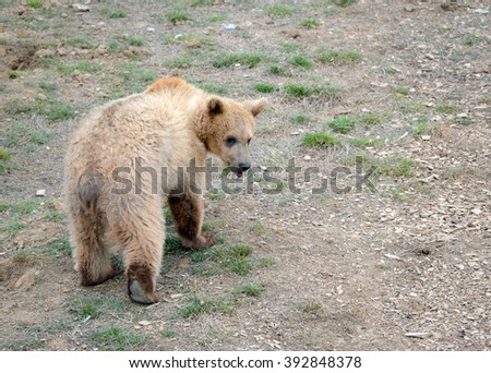 Grizzly Bear, while on the California state flag, has been extirpated from the state and lives only in select areas in the United States including limited areas in the rocky mountains and Alaska
