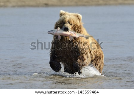 Grizzly Bear with caught salmon - stock photo