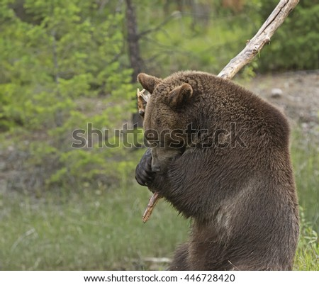 Grizzly bear with large branch on shoulder - stock photo