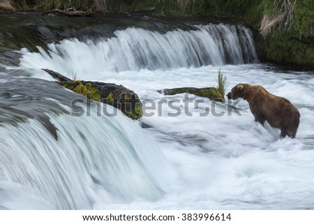 Grizzly bears fishing for salmon, Brooks Falls, Katmai NP, Alaska
