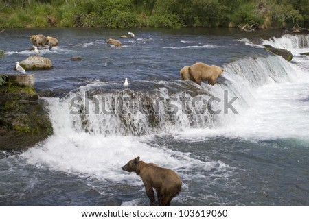 Grizzly Bears fishing for salmon in Katmai National Park in Alaska - stock photo