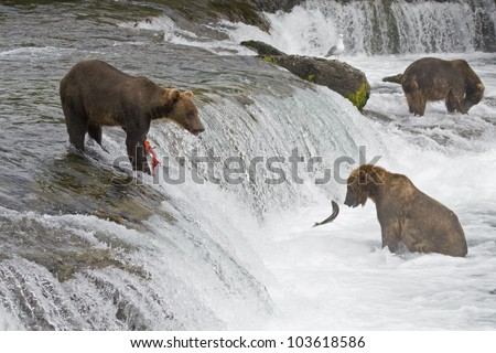 Grizzly Bears fishing in Katmai National Park in Alaska