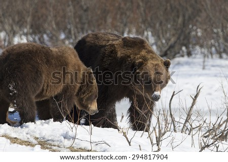 Grizzly Bears waking in spring from hibernation - stock photo