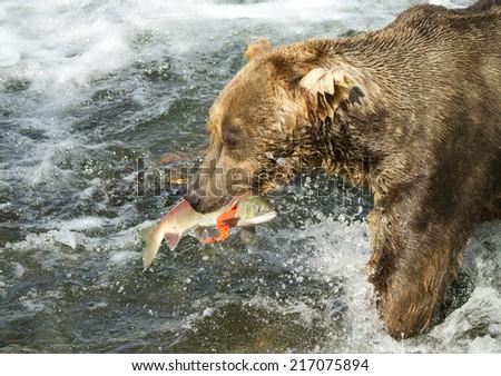 Grizzly catching salmon (Alaska/USA) - stock photo