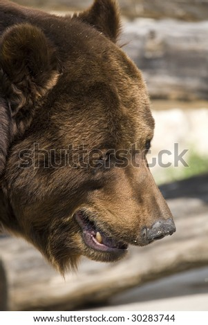 Grizzly Close Up Portrait