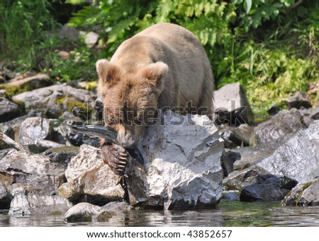 grizzly eats catch