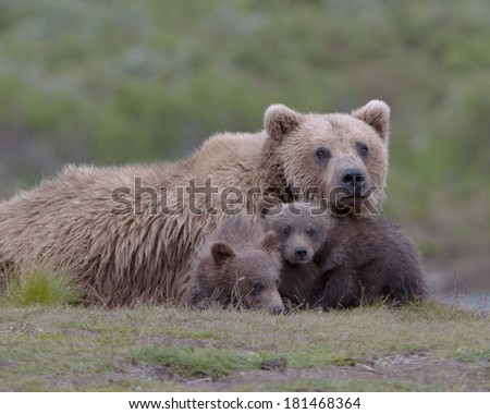 Grizzly family portrait. First year cubs - stock photo