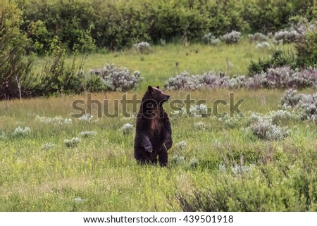 Grizzly in Grand Teton National Park, Wyoming