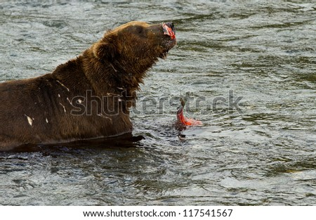 Grizzly - Katmai National Park - Alaska