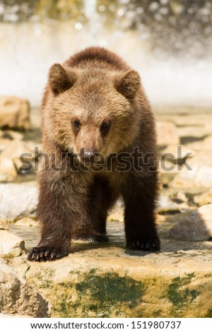 Grizzly (Ursus arctos) bear cubs playing in the water
